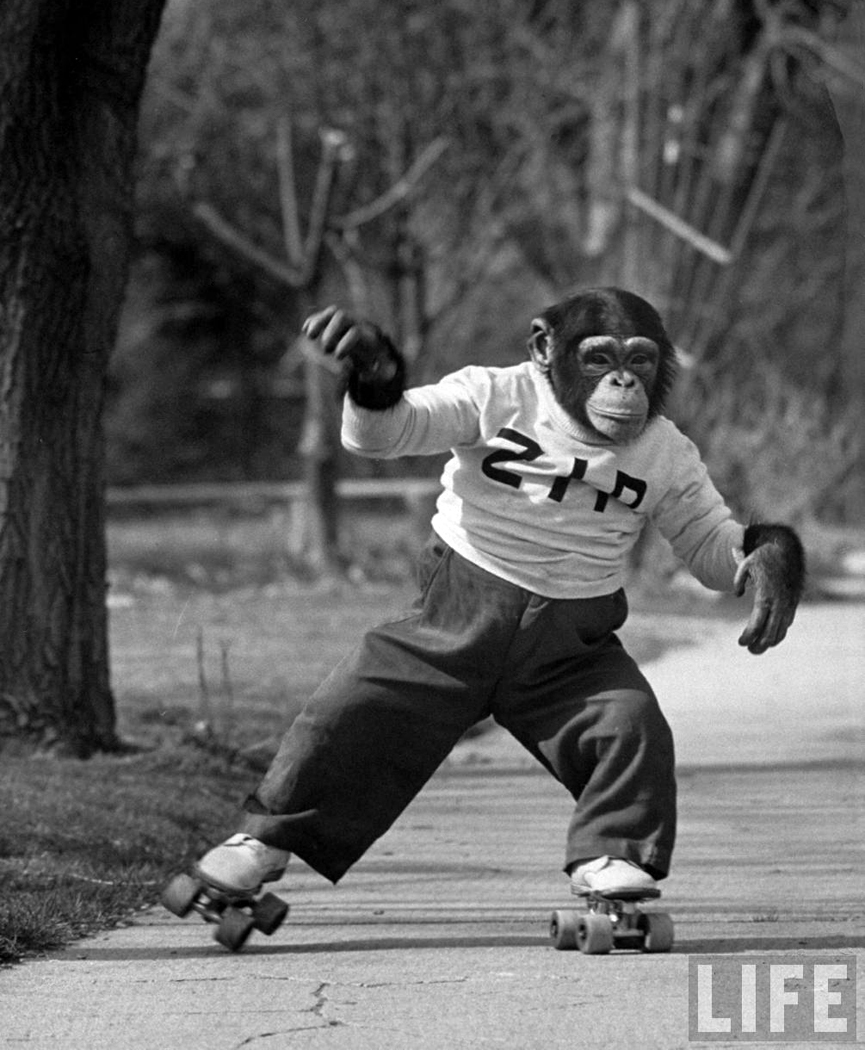 El chimpancé Zippy feliz con sus patines, en abril de 1955. Michael Rougier