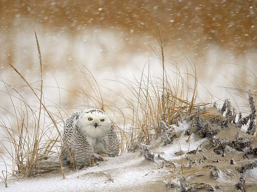 Snowy Owl. James Galletto. National Geographic