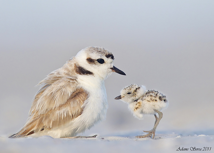 Snowy Plovers. Adams Serra