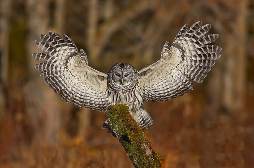 Barred Owl coming in for a landing. Jody Melanson