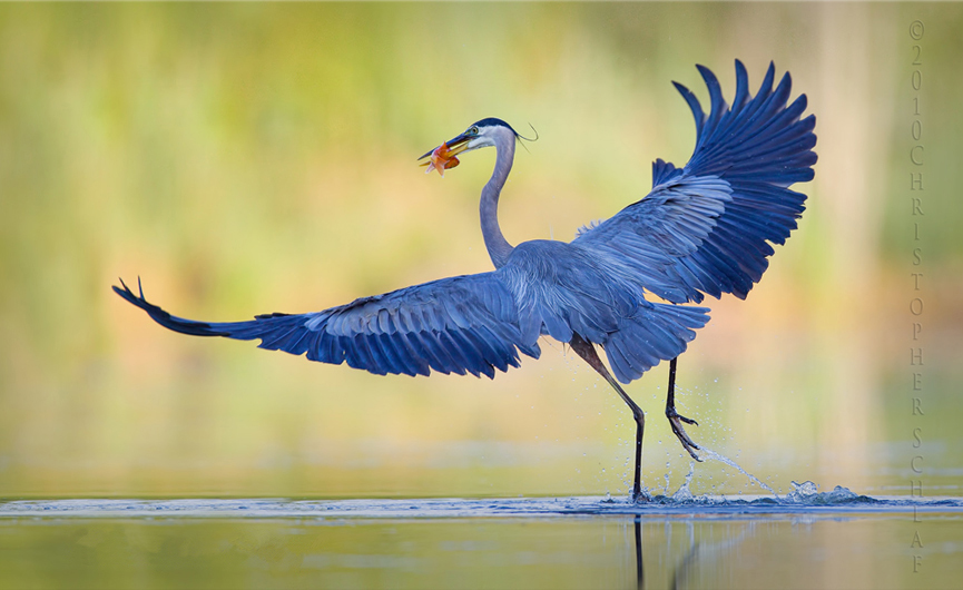 Great Blue Heron Take Off. Christopher Schlaf